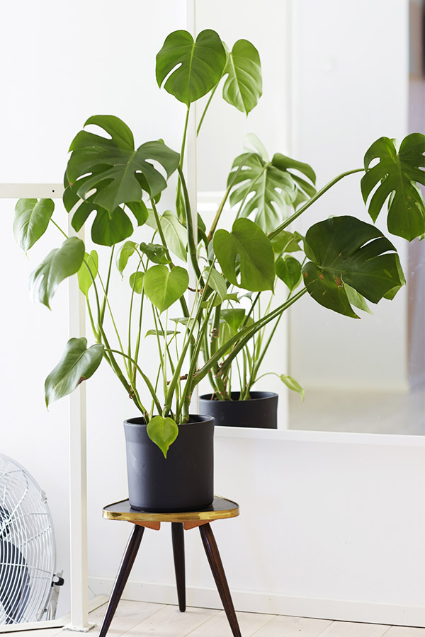 10 indoor plants you can't kill - on household tropical plants, tall modern house plants, tall bamboo house plants, tall tropical trees, indoor plants, large leaf plants, tall orchids, long tropical leaf plants, tall flowers, tall cactus house plants, tall plant table, tall red house plants, tall container gardening, types of house plants, tall tree house plants, tall house plants low light, tall common house plants, tall tropical pots,