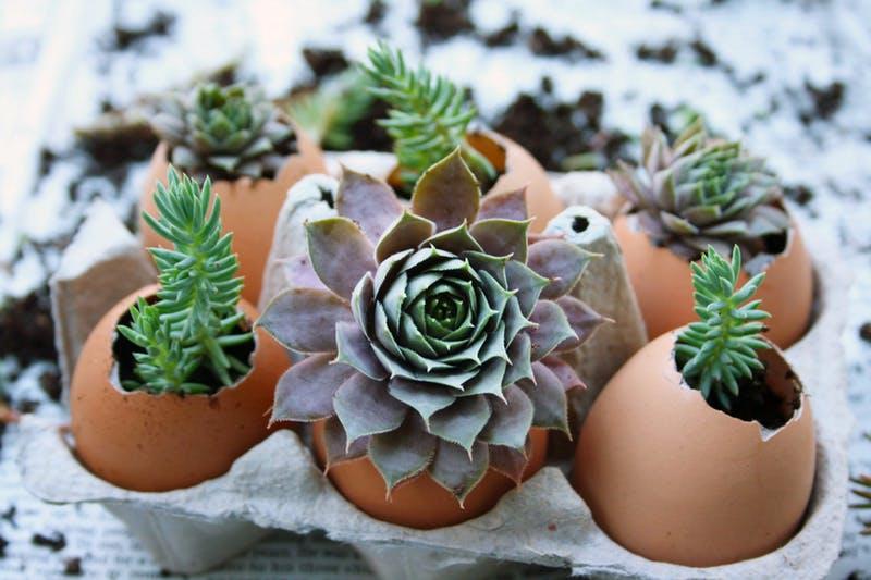 Gardening - Eggshell succulents