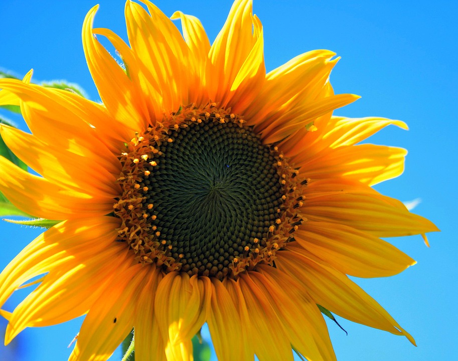 Gardening - Sunflower