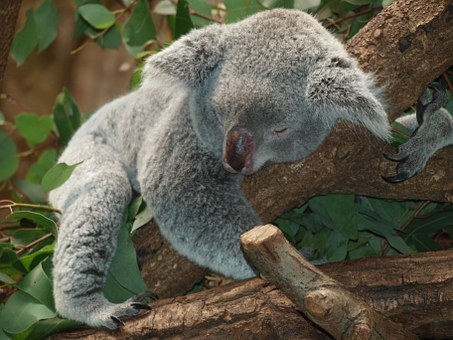 Procrastination - Koala