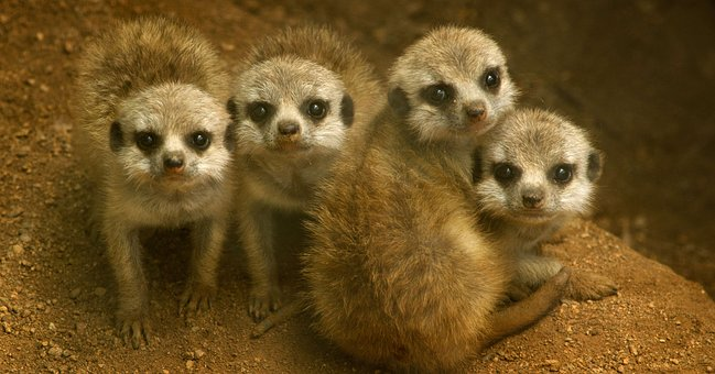 Animal mothers - meerkats