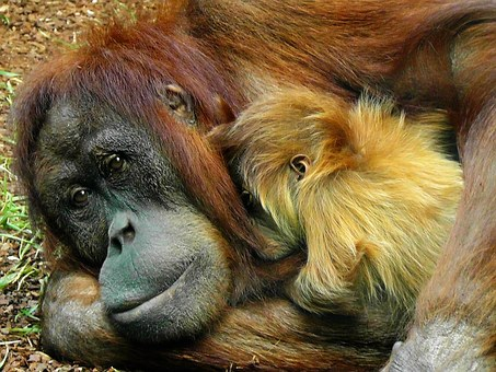 Animal mothers - orangutans