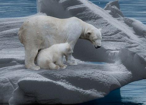 Animal mothers - polar bears