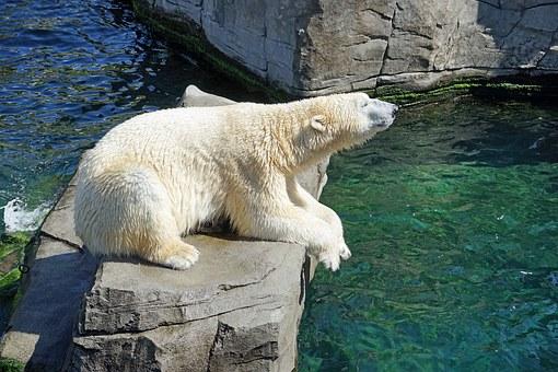 Animal dads - polar bears