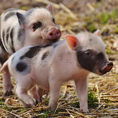 Name meanings - pigs